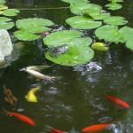 Pond w Frog